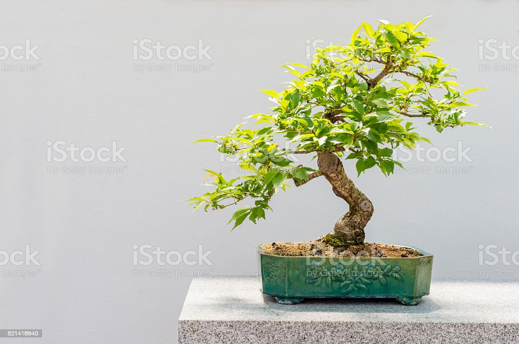 Kurile Cherry Tree Bonsai Stock Photo Download Image Now Istock