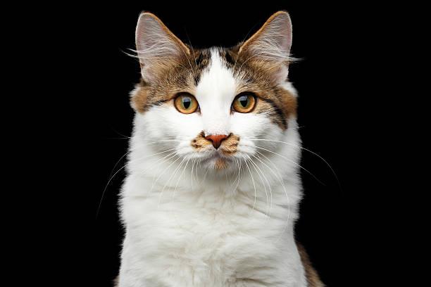Kurilian bobtail cat on isolated black background picture id637923924?b=1&k=6&m=637923924&s=612x612&w=0&h=oni6r0gph5fcd2wtvkhvlcqqnjmnqcvkquufqrquok0=