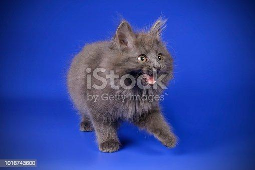 studio photography of a Kurilian Bobtail cat on colored backgrounds