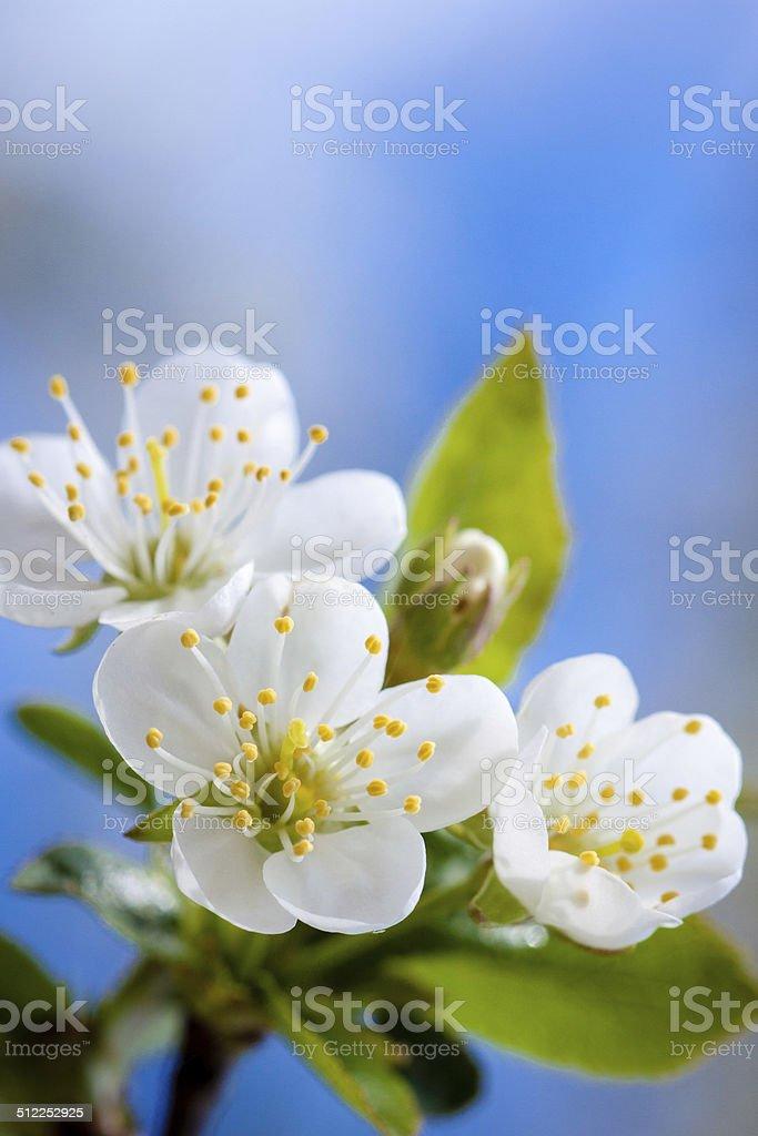 Kwiaty wiśni stock photo