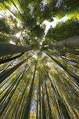 Bamboo Grove in Kyoto, Japan
