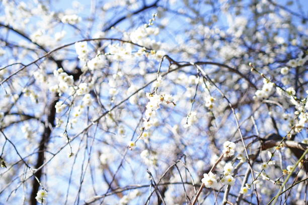 Kyoto culture and cherry blossms stock photo
