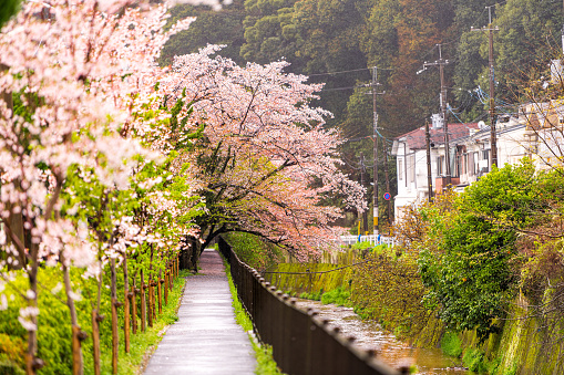 Kyoto, Japan canopy of flowers on cherry blossom sakura trees in spring garden on Philosopher's path with river canal