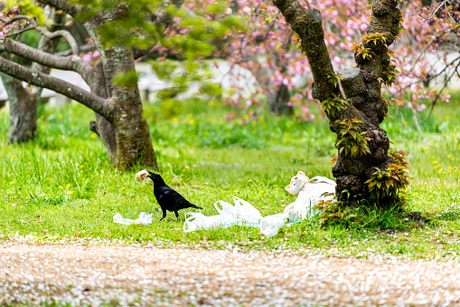 Kyoto, Japan garden park with trash food and one large black raven bird stealing sandwich from plastic bag