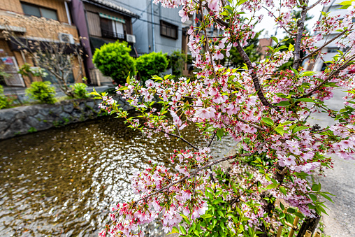 Kyoto kiyamachi-dori neighborhood area street in spring with Takase river canal water in Japan on sunny day with sakura cherry blossom petals flowers on tree