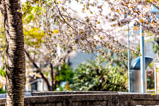 Kyoto kiyamachi-dori neighborhood area street in spring with Takase river canal water in Japan on sunny day with sakura cherry blossom petals flowers by stone bridge