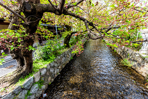 Kyoto residential neighborhood area in spring with Takase river canal water in Japan on sunny day with sakura cherry blossom petals flowers on tree
