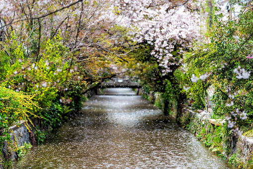 Kyoto residential neighborhood in spring with Takase river canal water in Japan on sunny day with sakura cherry blossom petals flowers falling from trees