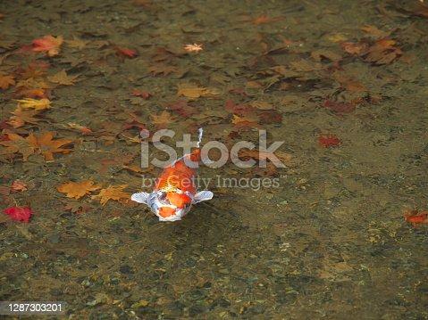 Kyoto,Japan-November 23,2020: A carp in a pond
