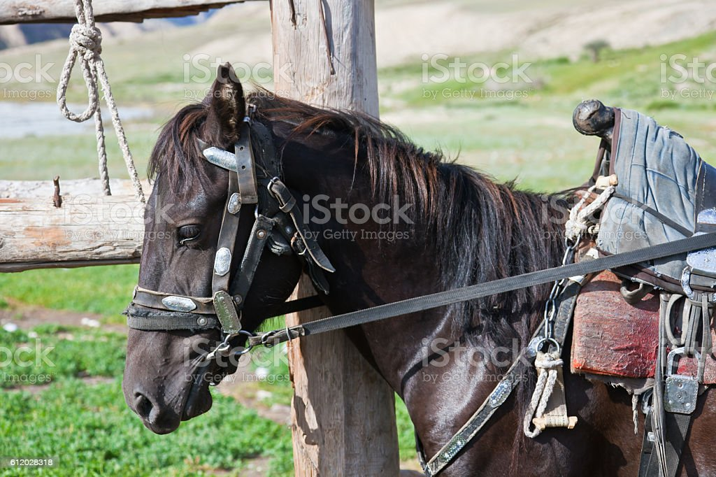 Kyrgyz black stallion in harness with a saddle stock photo