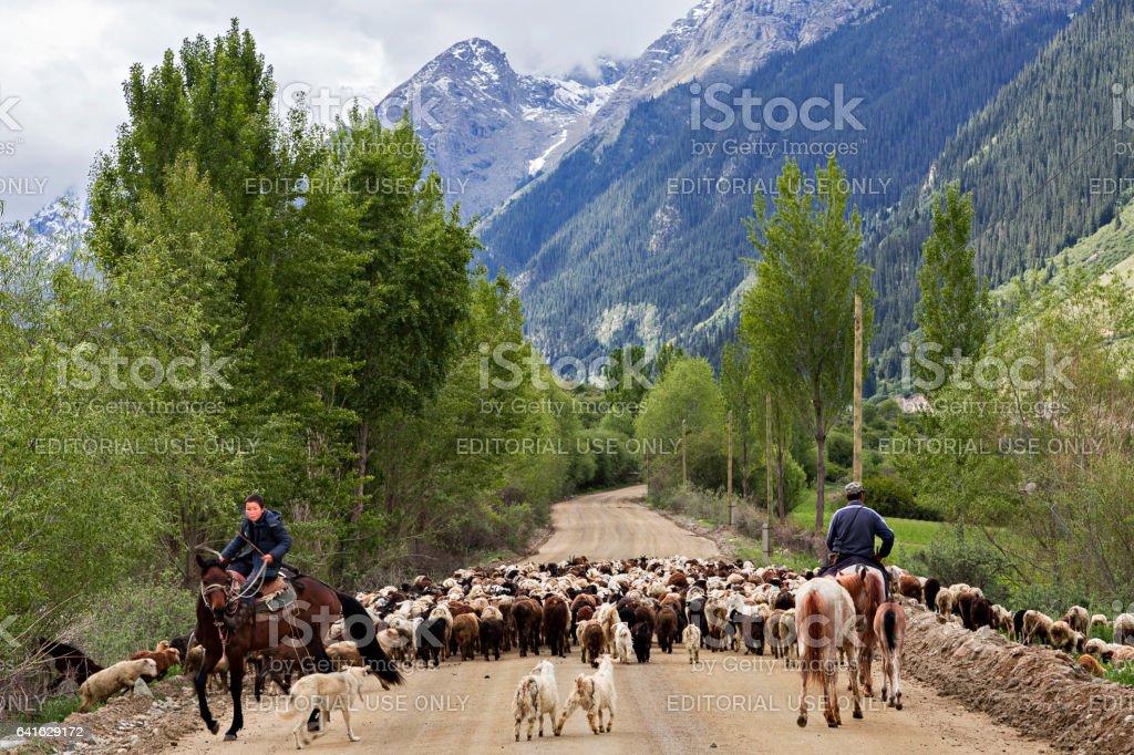 Barskaun Gorge, Kyrgyzstan - May 29, 2016: Kyrgyz herders get their sheep and goats to meadows, in the Barskaun Gorge, Kyrgyzstan stock photo