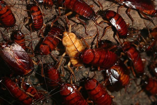 la cucaracha - barata americana - fotografias e filmes do acervo