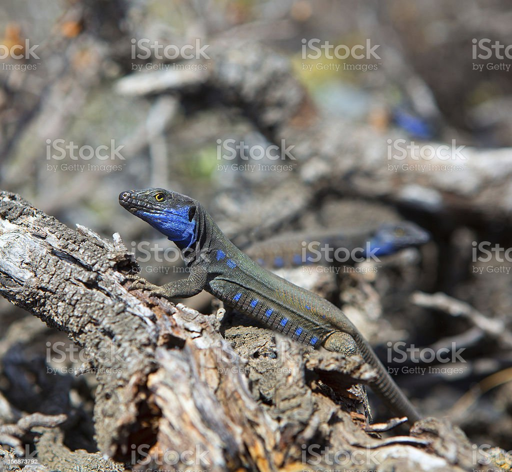 La Palma typical lizard Tizon Gallotia galloti palmae royalty-free stock photo
