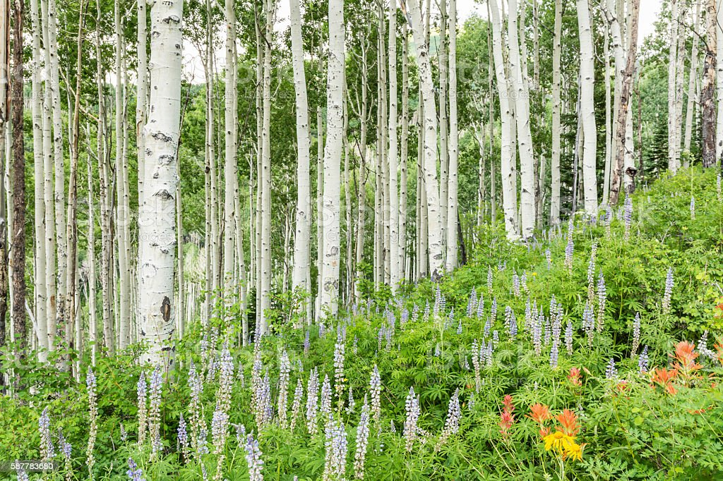La Sal Mountain Aspen Hillside stock photo