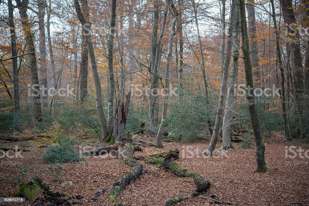La Tilleae Forest Reserve in Fontainebleau stock photo