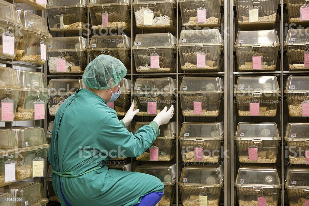 lab assistant takes care about laboratory animals in plastic cages stock photo