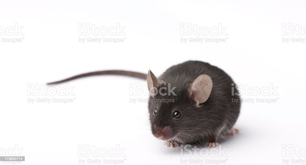 Lab Mouse Lab Mouse Animal Stock Photo
