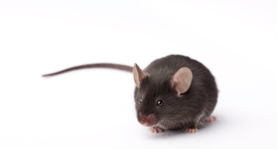 Lab Mouse Stock Photo - Download Image Now