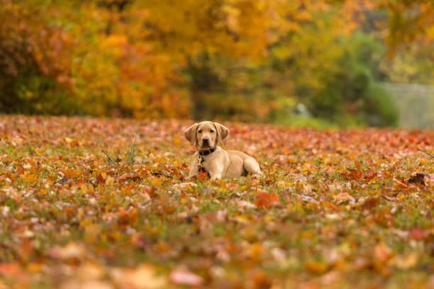 Lab puppy lying among fallen autumn leaves stock photo