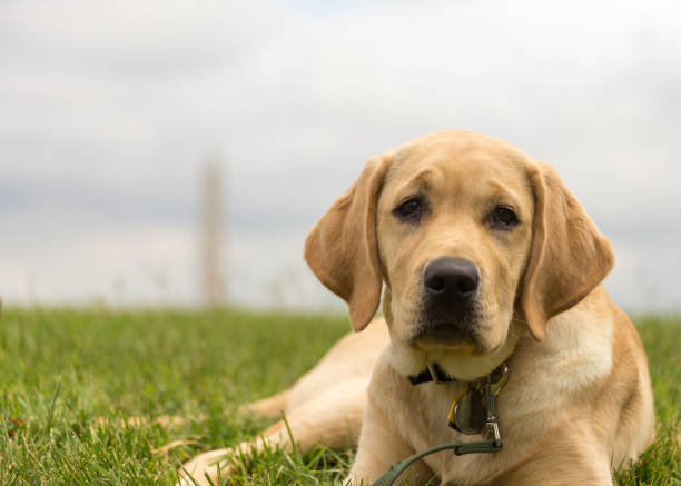 Lab puppy relaxing on the lawn stock photo