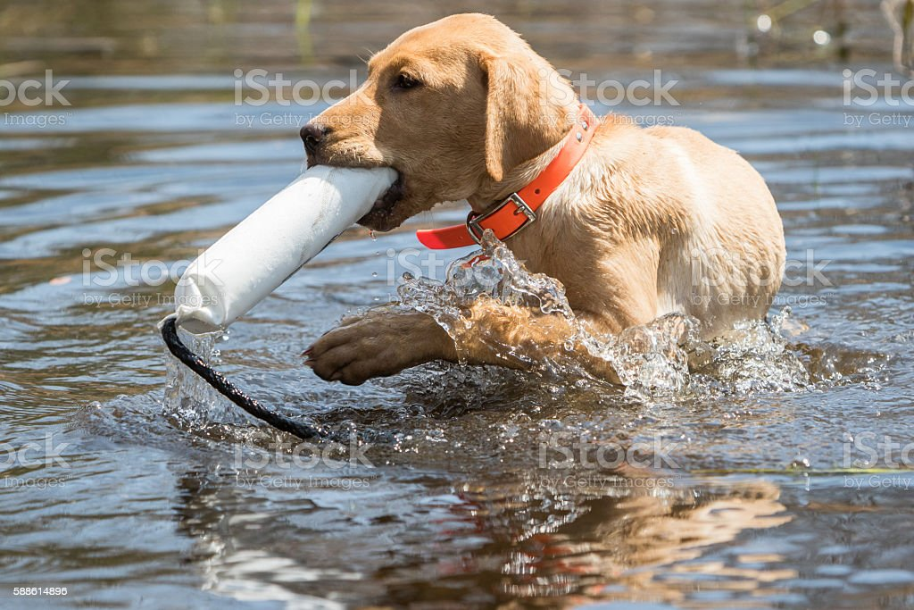 Lab Puppy with Bumper stock photo