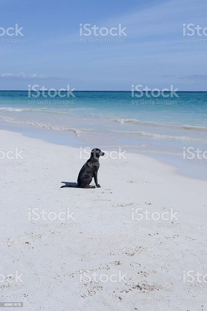 Labadour auf weißem sand beach – Foto