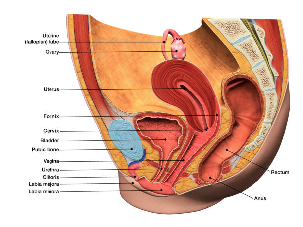 labeled 3d diagram of female reproductive system in sagittal section - diagram stock pictures, royalty-free photos & images