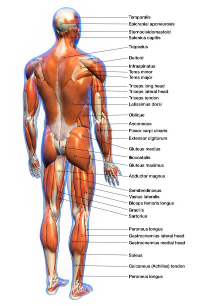 labeled anatomy chart of male muscles on white background - medical diagrams stock pictures, royalty-free photos & images