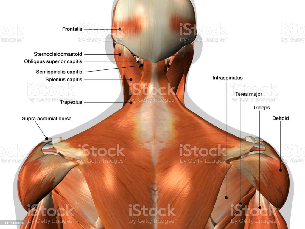 labeled anatomy chart of neck and back muscles on white background  royalty-free stock photo