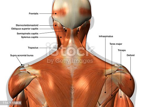 istock Labeled Anatomy Chart of Neck and Back Muscles on White Background 1147115909