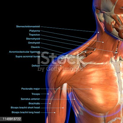 istock Labeled Anatomy Chart of Neck and Shoulder Muscles on Black Background 1145913722