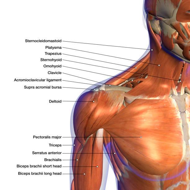 tableau d'anatomie étiqueté des muscles du cou et de l'épaule sur fond blanc - sternum photos et images de collection
