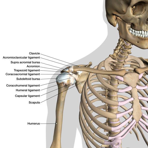 étiqueté anatomie graphique de l'épaule ligaments sur fond blanc - sternum photos et images de collection
