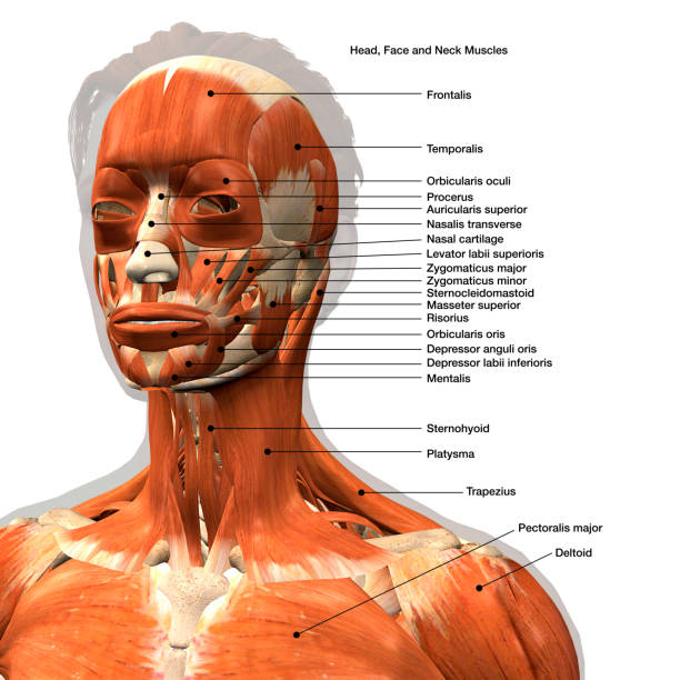 labeled medical illustration of female facial muscles - medical diagrams stock pictures, royalty-free photos & images