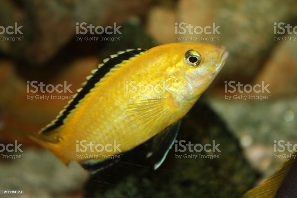 Labidochromis caeruleus stock photo