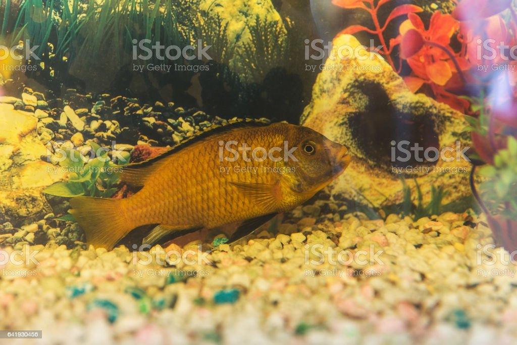 Labidochromis yellow close up stock photo
