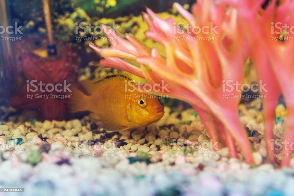 Labidochromis yellow in aquarium stock photo