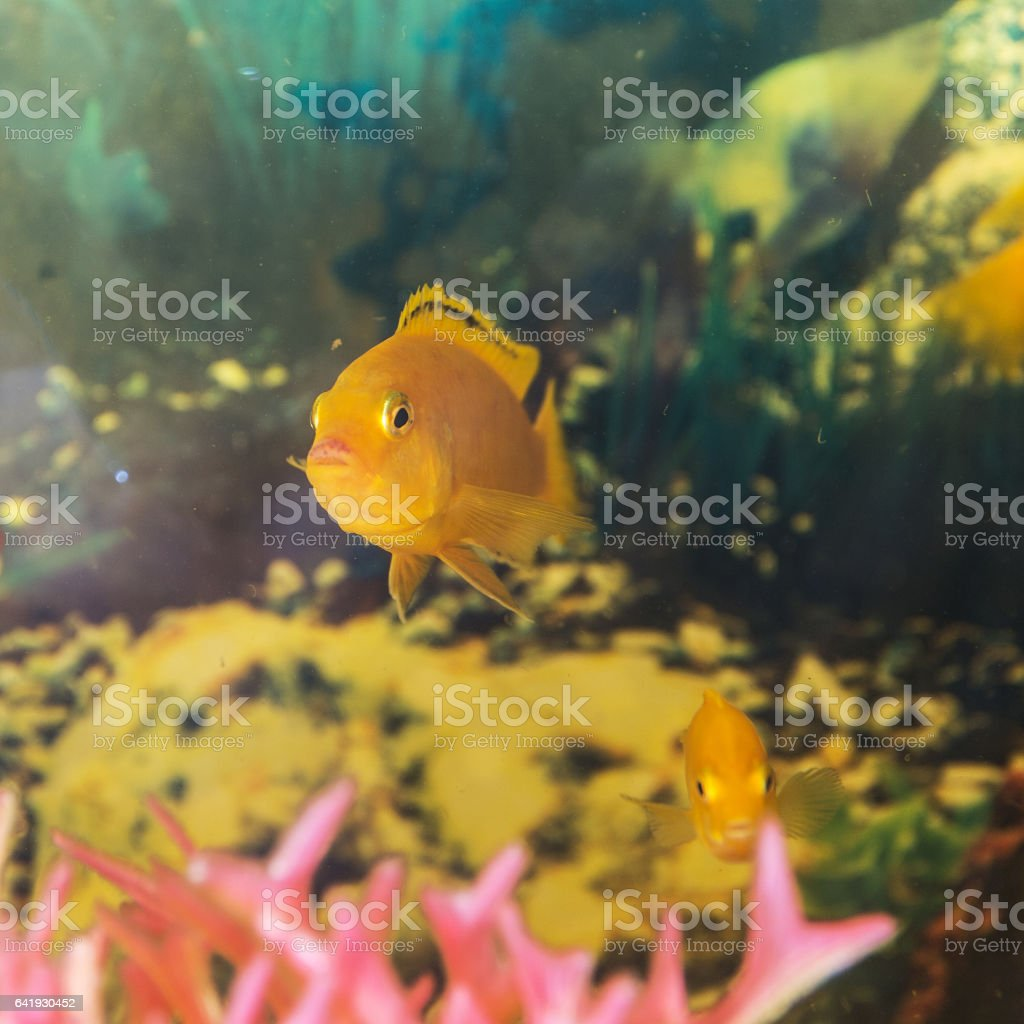 Labidochromis yellow in water stock photo