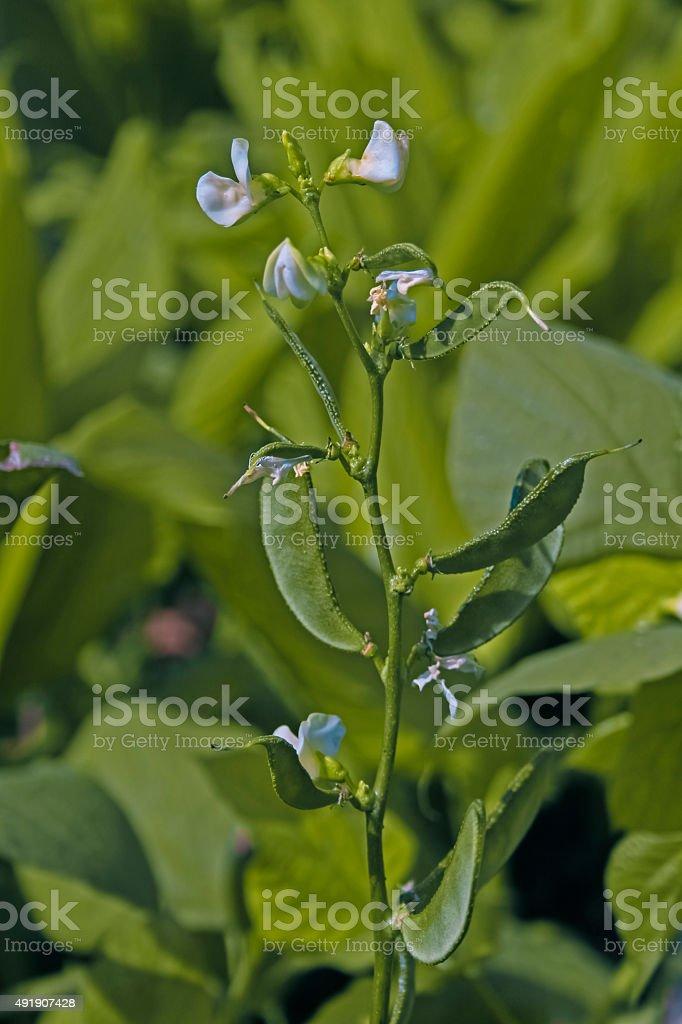 Lablab purpureus L., Pawata, Papilionaceae, Leguminosae, stock photo