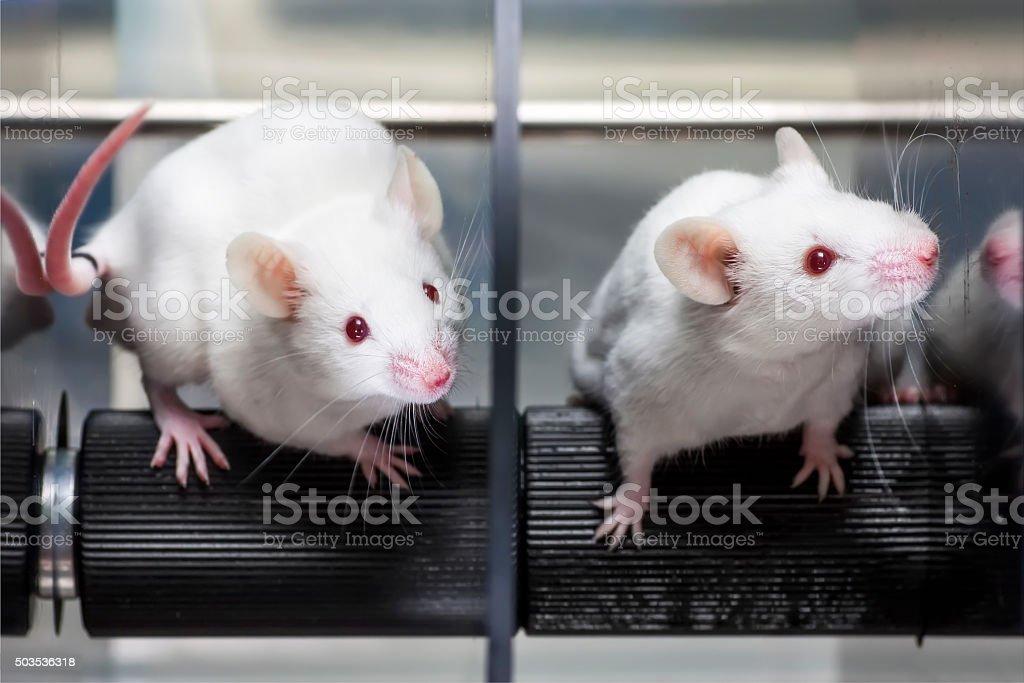 Laboratory mice in the rotarod performance test stock photo