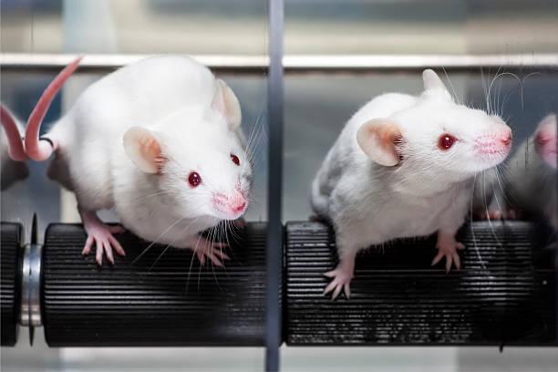 Los análisis de laboratorio en los ratones rotarod prueba de rendimiento - foto de stock