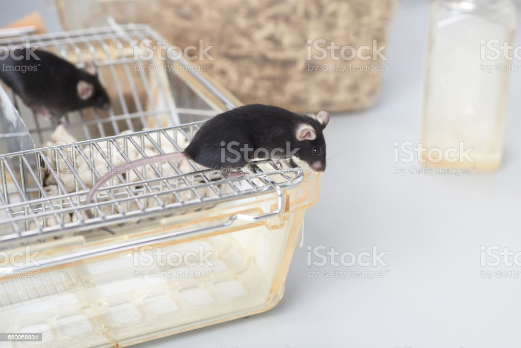 Laboratory mice on top of the standard cage stock photo