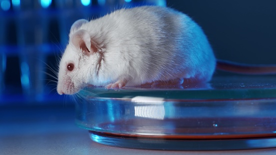Laboratory mouse in a modern genetic laboratory. The concept of genetic or immunological research