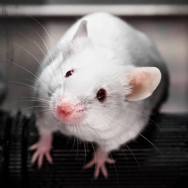 Ratón de laboratorio en la prueba de rendimiento rotarod - foto de stock