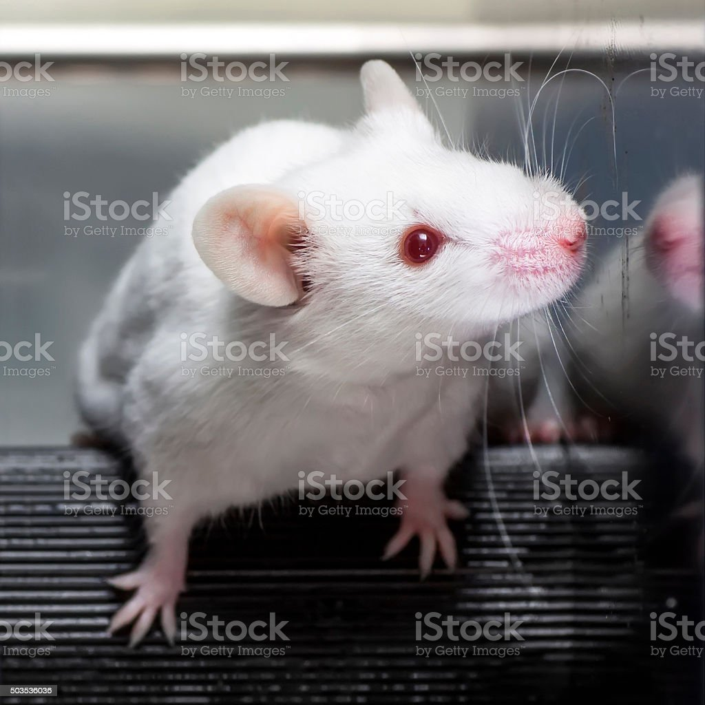 Laboratory mouse in the rotarod performance test stock photo