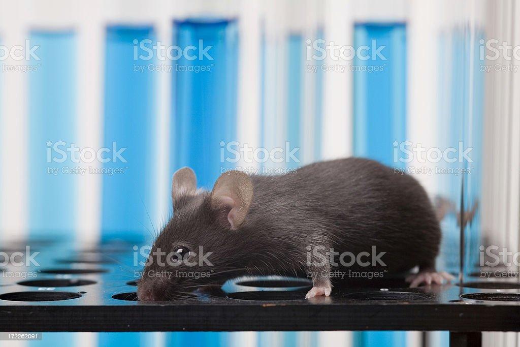 Laboratory mouse stock photo