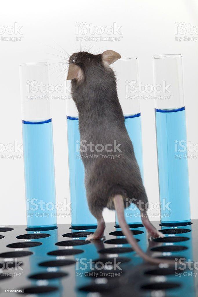Laboratory mouse royalty-free stock photo