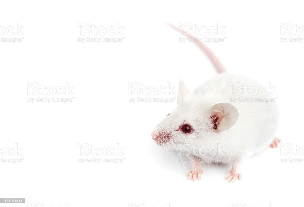 Laboratory mouse royalty-free stock photo