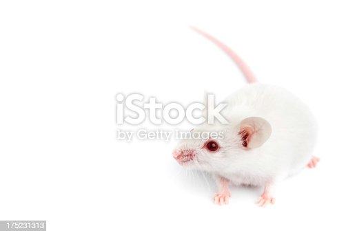 istock Laboratory mouse 175231313