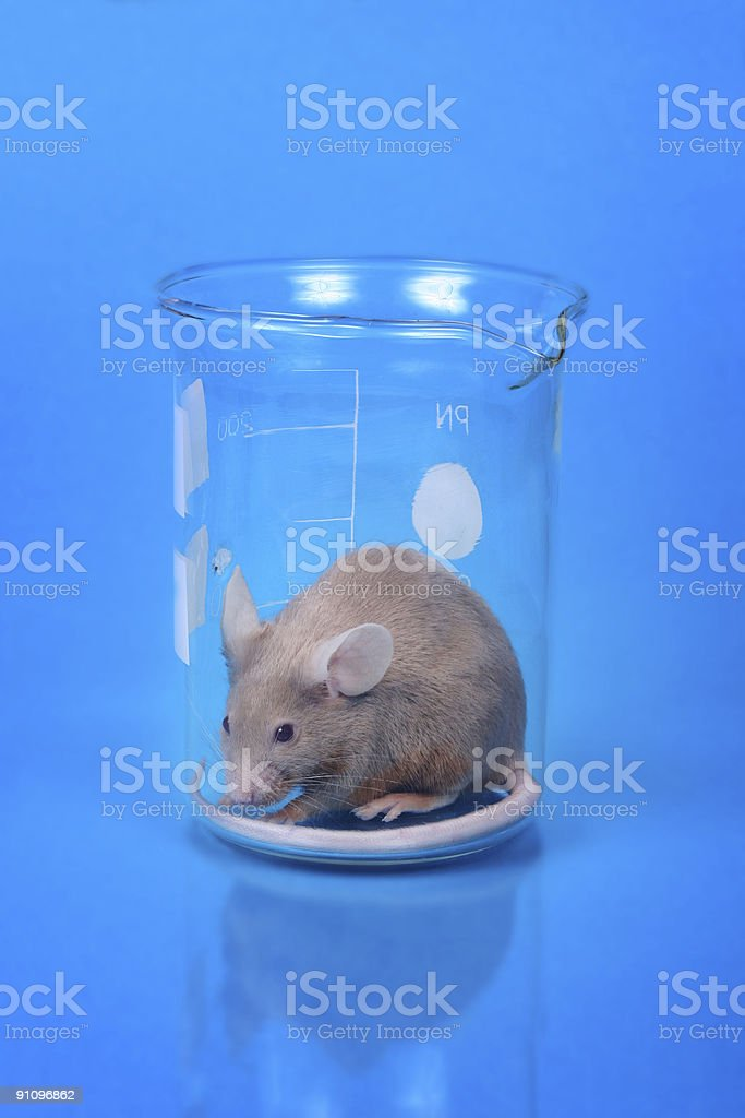 Laboratory mouse stock photo